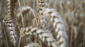 cerca de los tallos de trigo dorado, espiga de grano. foto