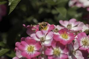 la abeja recolecta el néctar de las flores foto