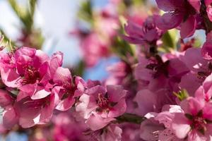 Close up of blooming peaches pink flowers. photo