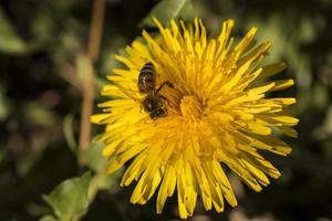 Cerca de una abeja recolectando polen de hermosos dientes de león amarillos foto