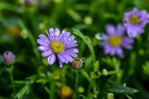 flor de margaritas púrpura con gotas de agua en el campo del jardín. foto