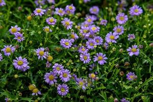 Purple daisies flower with water droplets in garden field. photo