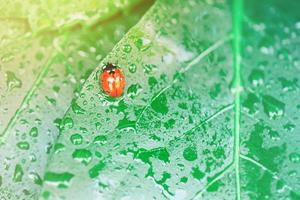 Bright green leaf with ladybug and water drop close-up photo