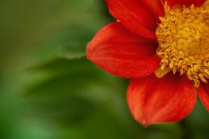 Red flower on a green background abstract macro. photo