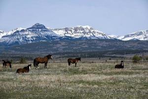 caballos en las montañas rocosas canadienses foto