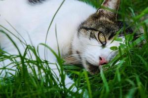 Cute tabby white cat lying in the grass and looking with green eyes photo