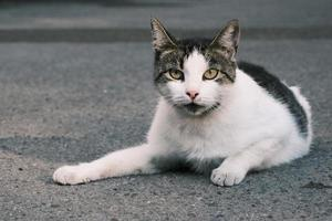 Tabby white with black street cat looking with green eyes portrait photo