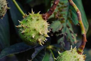 Verde espinoso castaño de Indias macro fruta en el jardín de otoño al aire libre foto