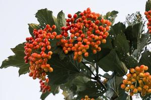 Red and orange guelder fruits on a tree branch in the autumn garden photo