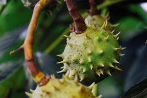 Semillas de castaño de indias natural con espinas de cerca en el bosque de otoño foto