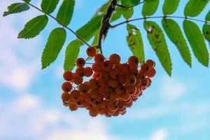 Green leaves on a rowan tree branch with a bunch of red berries photo