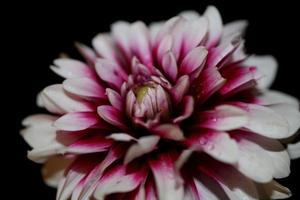 Flor de flor macro dahlia pinnata family compositae de alta calidad foto
