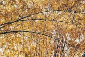 Branches of golden leafs Bamboo spring photo