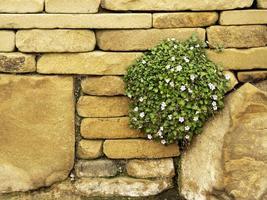 Fairy Heronsbill planta floreciendo sobre un muro de piedra foto