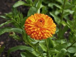 Hermosa flor y capullo de caléndula naranja, variedad de caléndula toque cítrico foto