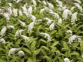 espigas de flores blancas de salicaria, lysimachia clethroides foto