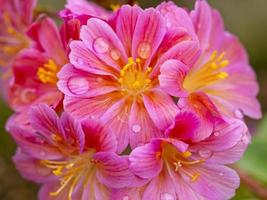 Pretty pink Lewisia Elise flowers with water droplets photo