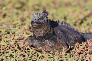 Marine Iguana Resting in Coastal Vegetation photo