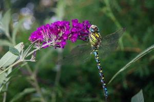 Dragonfly Aeshna Cyanea photo