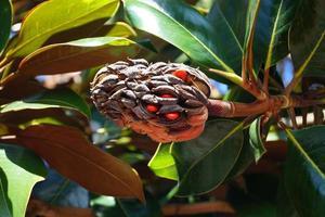 Southern Magnolia - Magnolia grandiflora photo