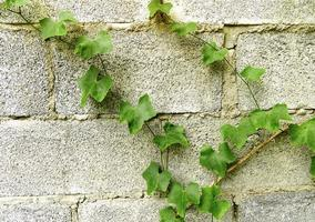 Green leaves climb up the wall. photo