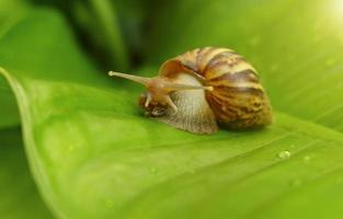 Curious snail in the garden on green leaf photo