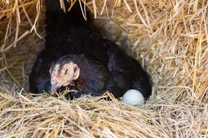 hen laying eggs in her nest photo