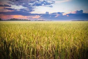 Rice field ready for harvest with beautiful sunset background photo
