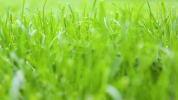 handklippning av grönt gräs med klippare. video