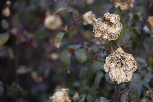 las flores de rosa se desvanecen en el arbusto foto