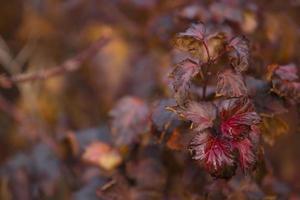 hermosas hojas de otoño en un arbusto de cerca foto