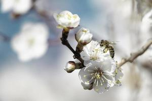 bee on apricot tree flower photo