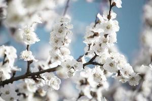 Beautiful sakura tree branch with tiny delicate flowers. photo