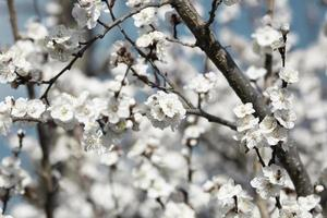 Beautiful apricot tree branch with tiny delicate flowers photo