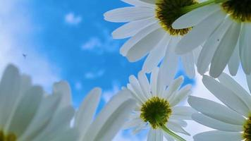 Bottom view of white daisies. Chamomiles against  blue sky video