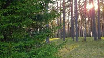 Coniferous forest at sunset. Spruce branches sway in wind in the sun. video