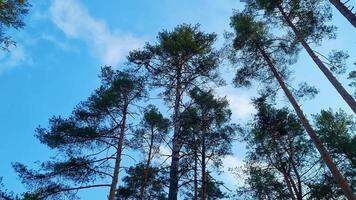 hoge pijnbomen zwaaien in de wind tegen de blauwe lucht. onderaanzicht video