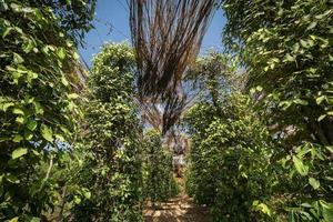 Peppercorn vines growing in organic pepper farm in Kampot province Cambodia photo