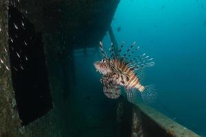 Lionfish in the Red Sea colorful fish, Eilat Israel photo