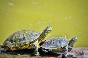 Turtle is on Green Lake Having Sunbath photo