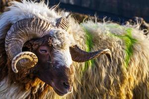A Farm Mammal Animal Sheep Looking photo