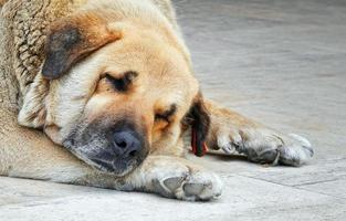 Fat Face Dog is Sleeping photo
