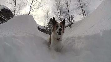 un cane gioca nella neve in una stazione sciistica. video