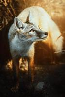 Corsac Fox Vulpes corsac in the sunset photo