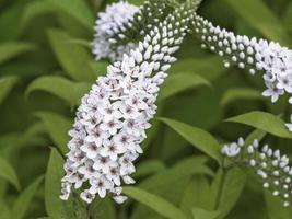 Primer plano de espigas de flores blancas de salicaria foto