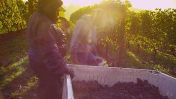 Oregón, EE. UU., 4 de octubre de 2013 cosechando uvas para vino video