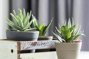 Aloe brevifolia succulent and snake plant in living room photo