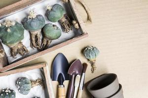 Lophophora and Astrophytum asterias cactus in wood box on brown paper photo
