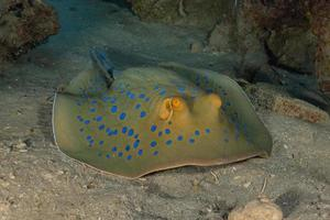Blue spotted stingray On the seabed  in the Red Sea photo