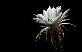 White color with fluffy hairy of Cactus flower on black background photo